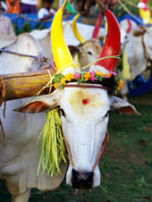 L-21-2187-bull_decorated_for_pongal_festival__mahabalipuram__tamil_nadu__india-Z00DADDF.jpg