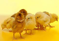 00x-easter_chicks_screensaver_215.jpg